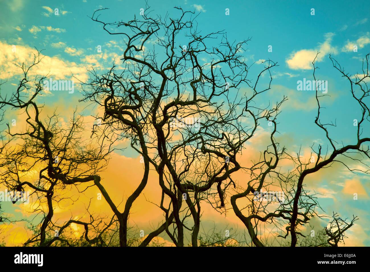La silhouette des branches d'arbre et le lever du soleil. Lanai, Hawaii. Photo Stock