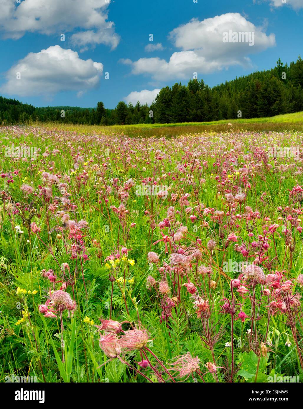La fumée des prairies fleurs sauvages dans la zone près de l'entreprise, de l'Oregon Photo Stock
