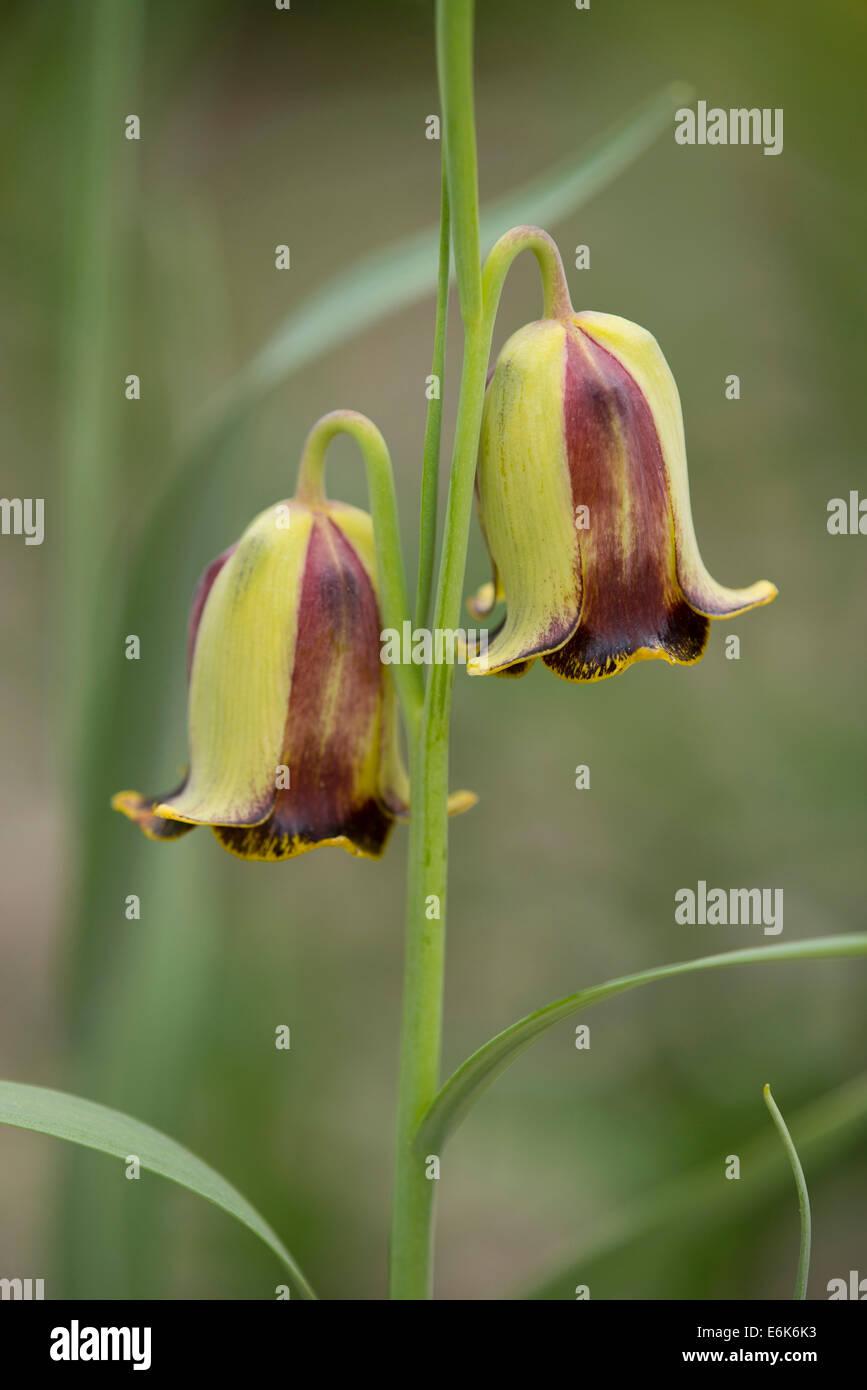 Fait-petal fritillary (Fritillaria acmopetala), la floraison, la Thuringe, Allemagne Photo Stock