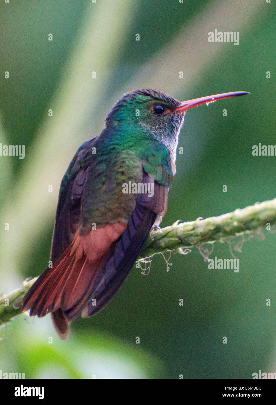 Humming Bird au Costa Rica Photo Stock