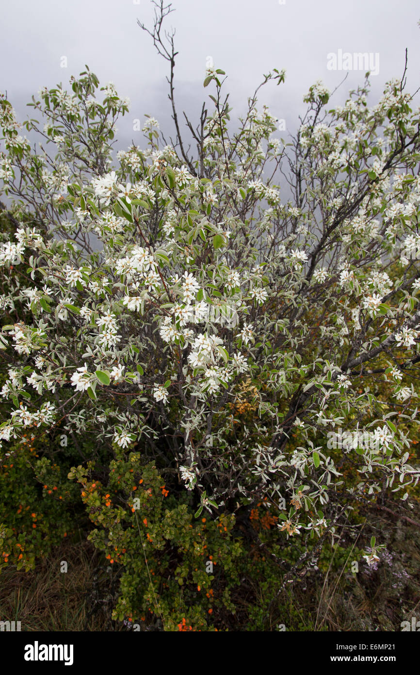 snowy mespilus shadbush shadwood poirier echte felsenbirne felsenmispel amelanchier ovalis. Black Bedroom Furniture Sets. Home Design Ideas