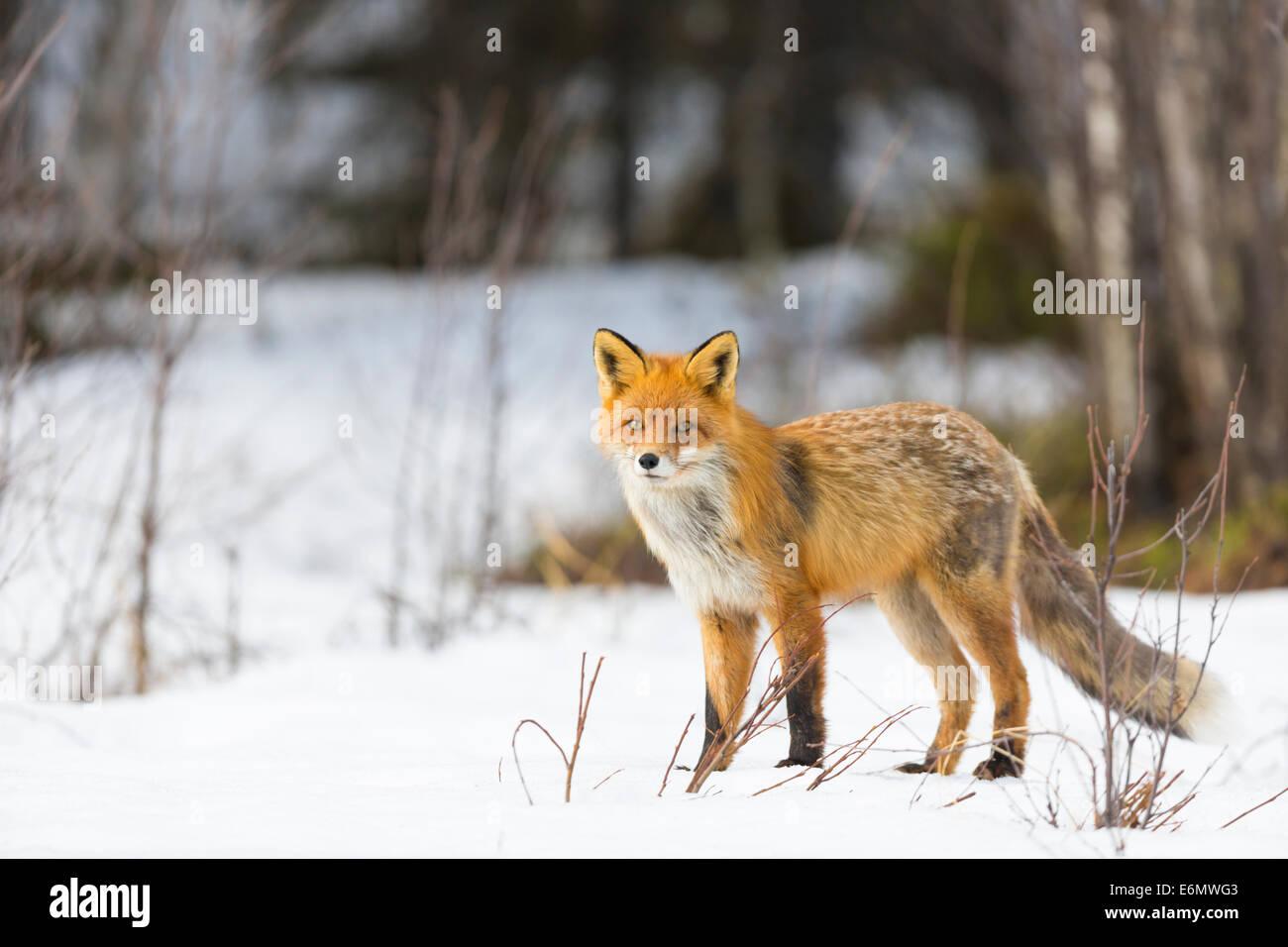 Red Fox dans l'horaire d'hiver de Jokkmokk, en Laponie suédoise, Suède Photo Stock