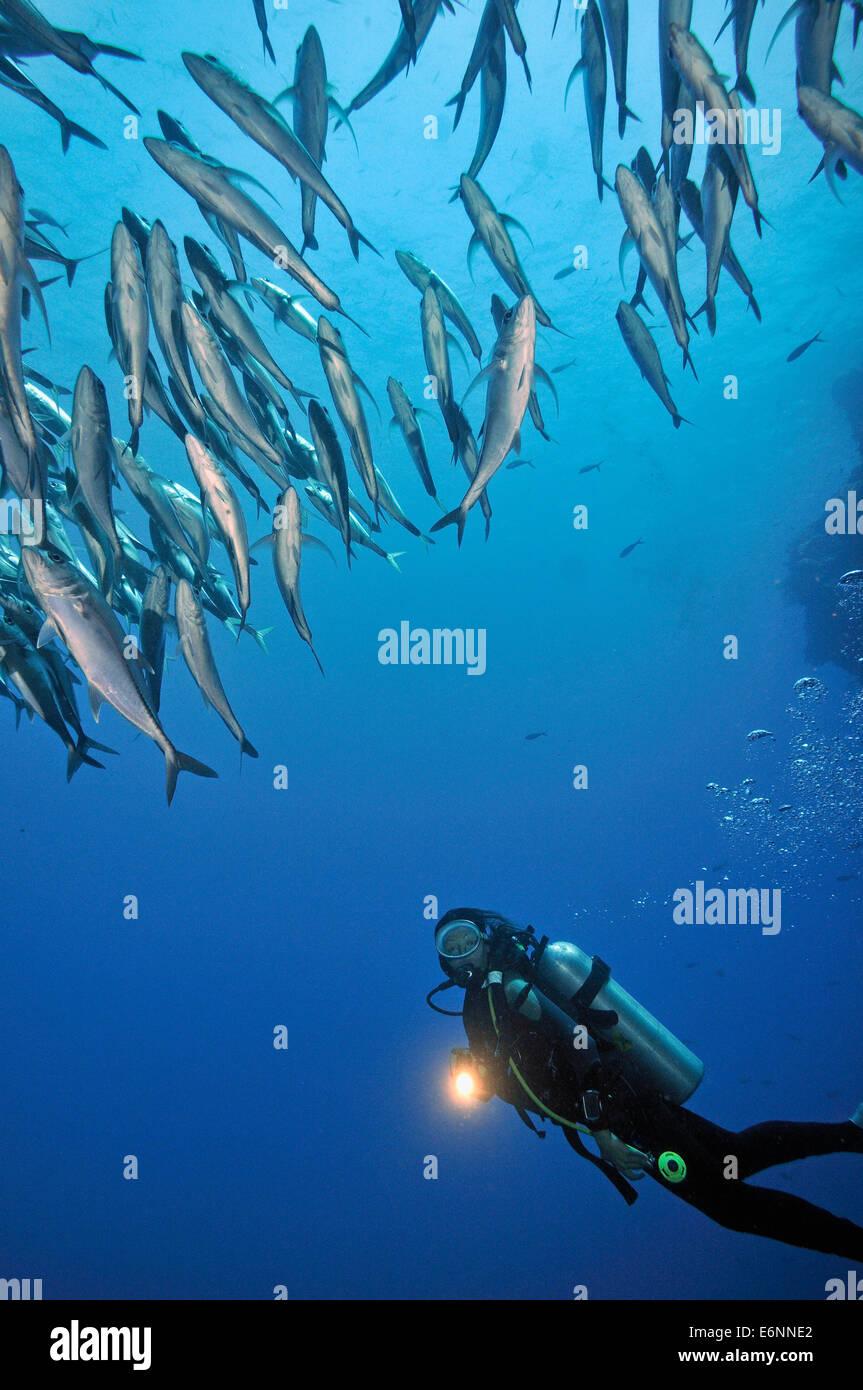 Torche de plongée qui brille par un banc de poissons, l'île de Sipadan, Bornéo, Malaisie Photo Stock