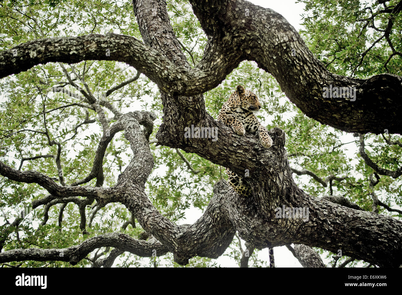 Leopard dans un arbre d'ébène, Sabi Sands Game Reserve, Afrique du Sud, l'Afrique Photo Stock