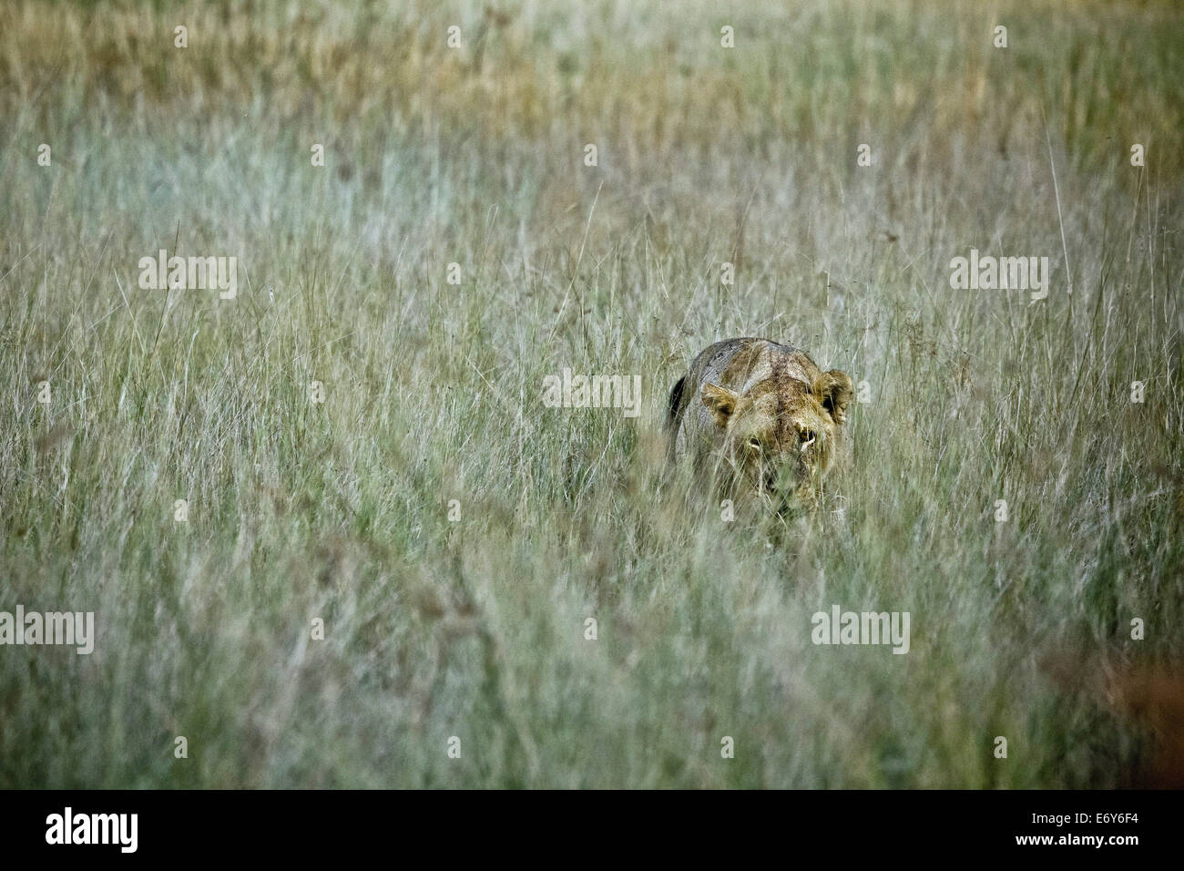 La lionne se cachant dans l'herbe de la savane, Okavango Delta, Botswana, Africa Photo Stock