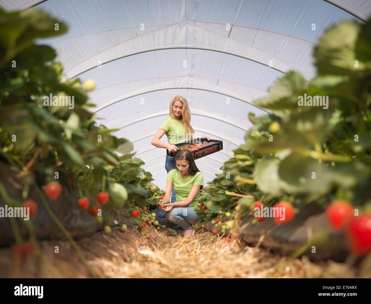 La cueillette des fraises en travailleurs fruit farm Photo Stock