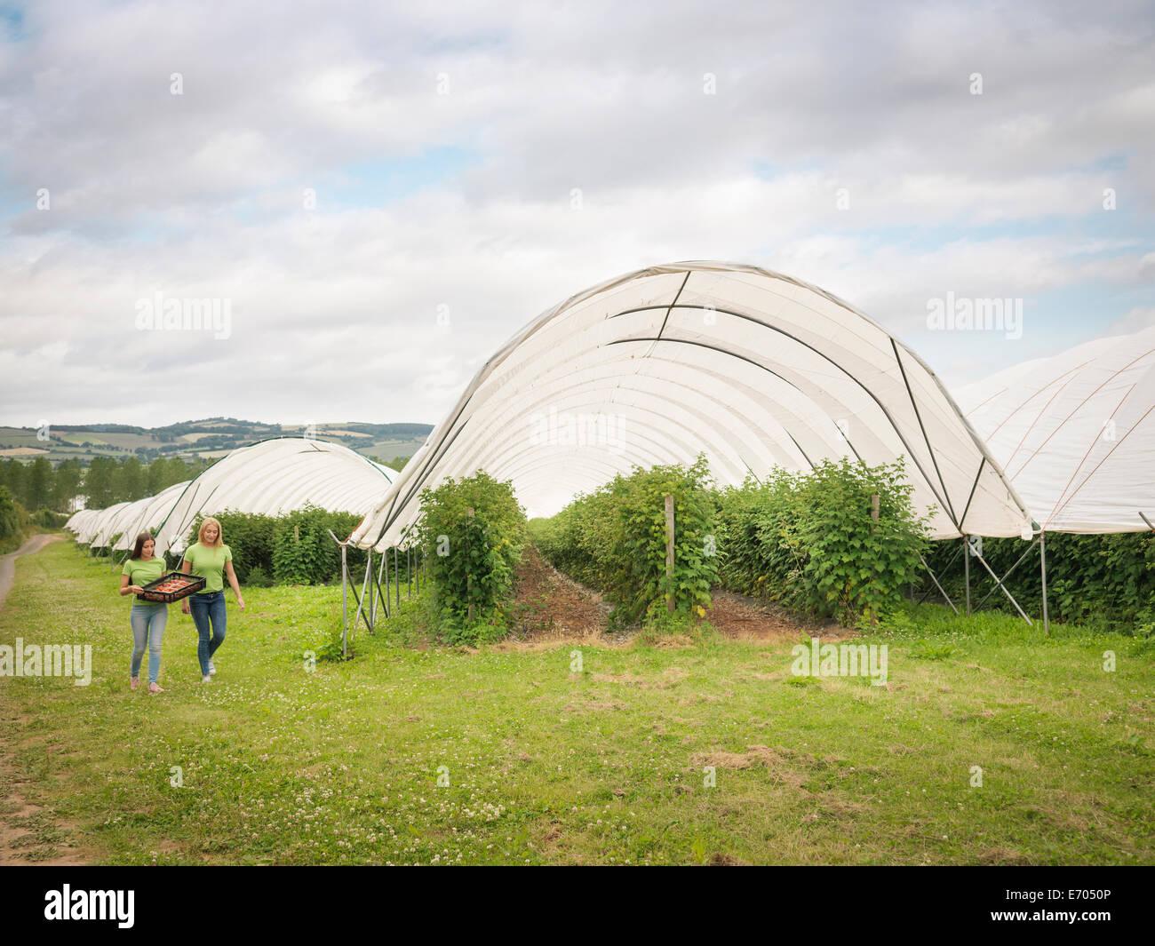 Cueilleurs de fruits devant polytunnels sur fruit farm Photo Stock