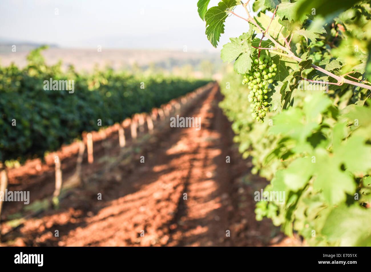 La nouvelle croissance de la vigne, Galilée, Israël Photo Stock