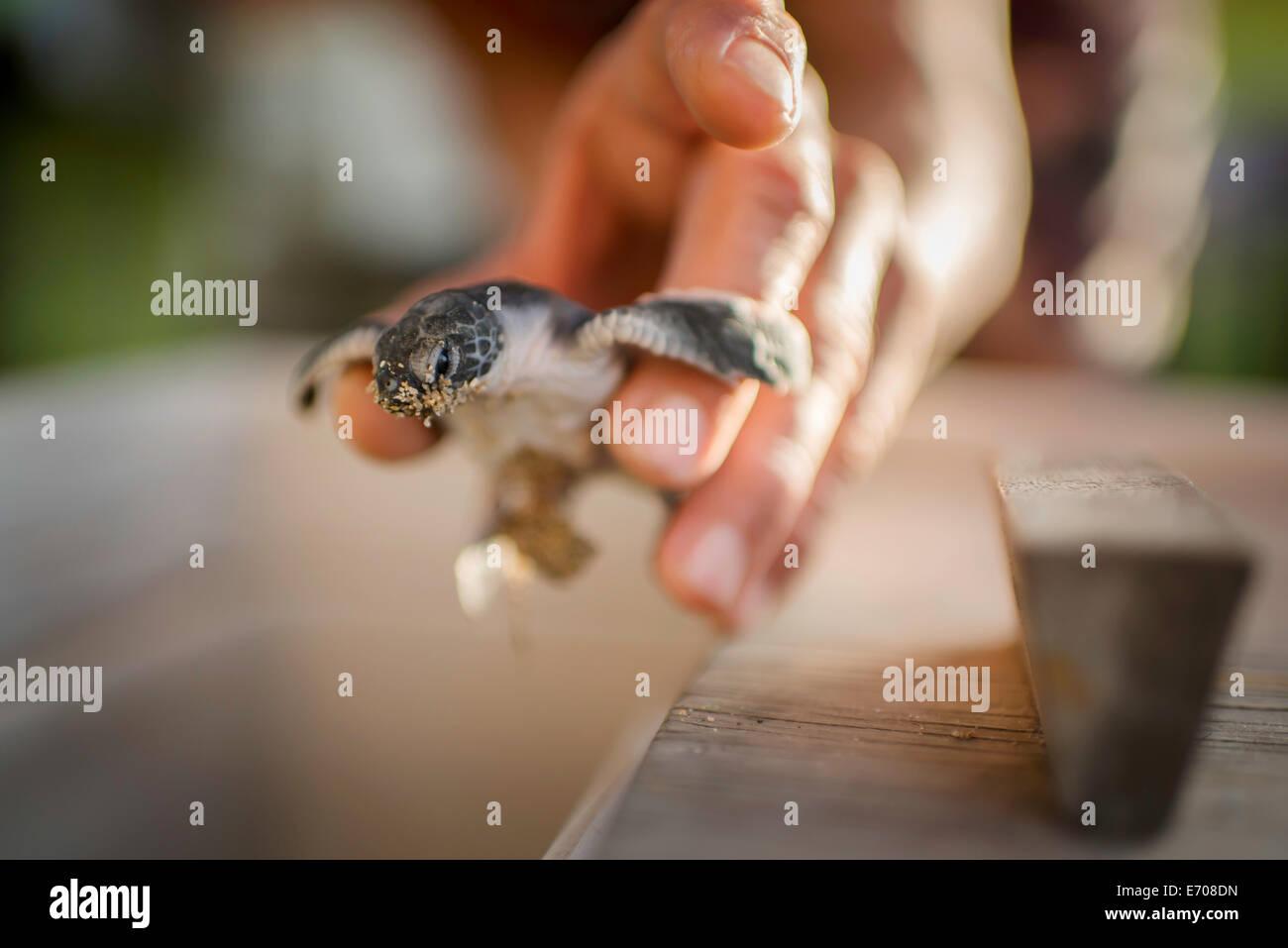 Mid adult male holding tortue de mer, se concentrer sur les tortues de mer Photo Stock