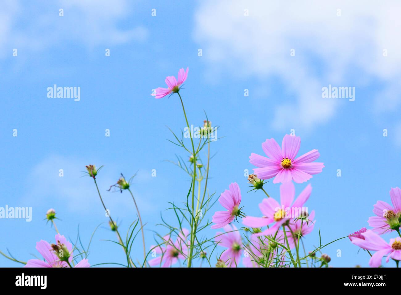 Belles fleurs cosmos Photo Stock