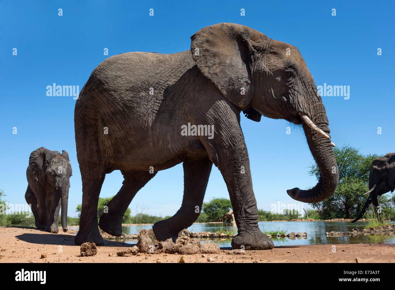Les éléphants d'Afrique (Loxodonta africana), point d'eau à Madikwe Game Reserve, Province Photo Stock