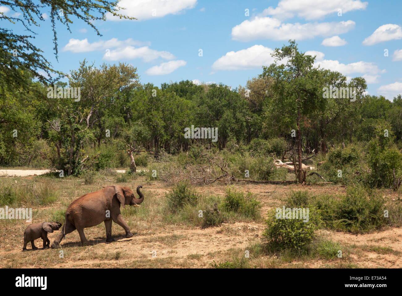 Les éléphants d'Afrique (Loxodonta africana) de sortir de l'eau, réserve Madikwe, Province Photo Stock