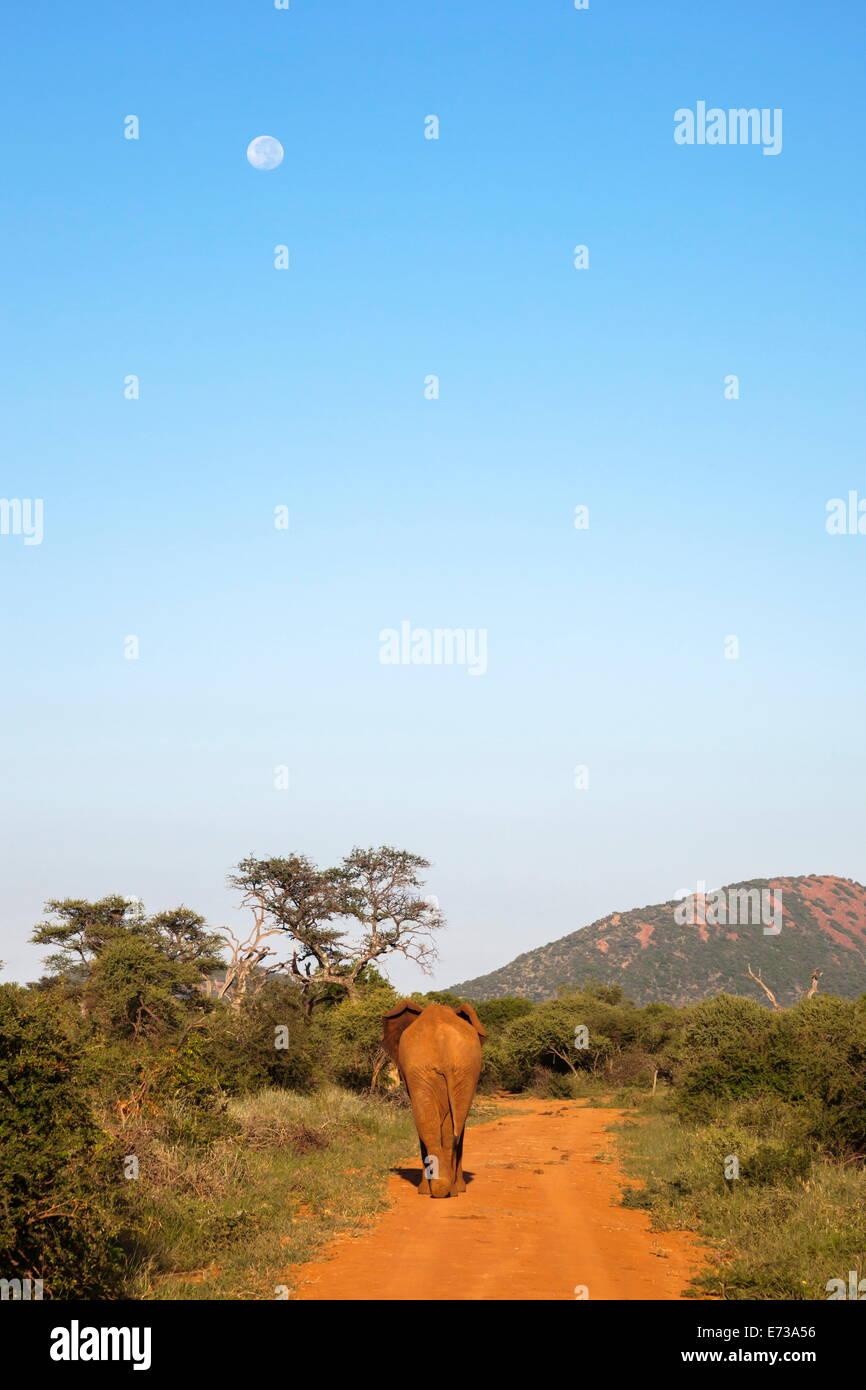Bull elephant (Loxodonta africana), arrêt marche Réserve Madikwe, Province du Nord-Ouest, Afrique du Sud, l'Afrique Banque D'Images