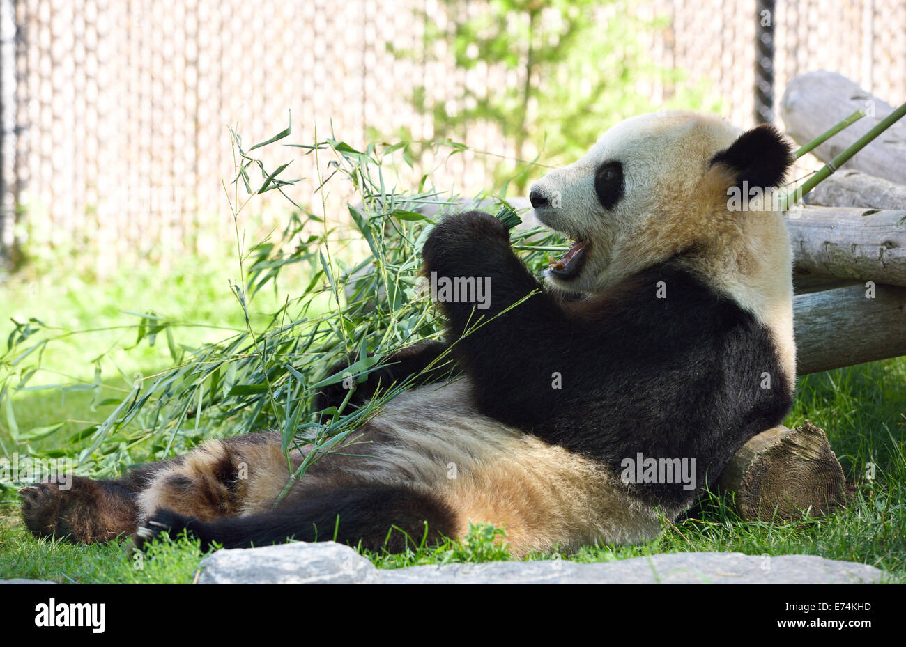 Er Shun Grand Panda eating bamboo au Zoo de Toronto Photo Stock