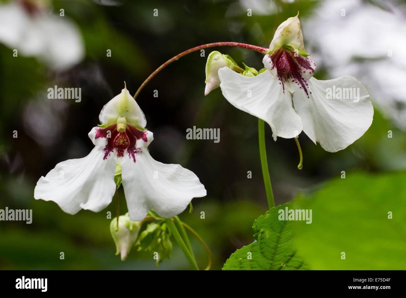 Grandes Fleurs Vivaces De L Impatiens Tinctoria Banque D Images
