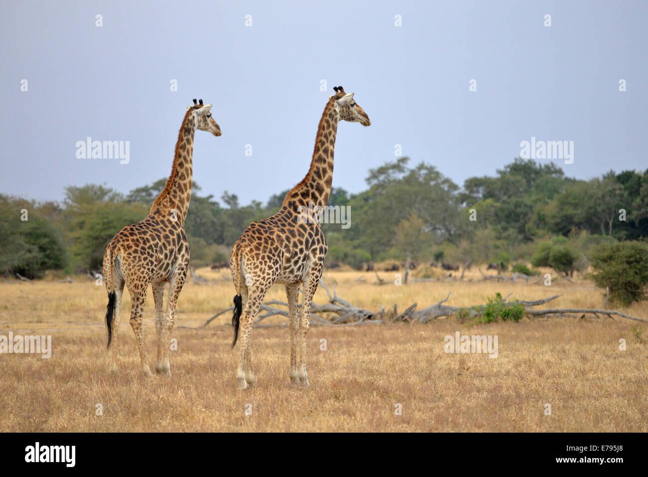 2 girafes dans la savane de prairies ouvertes contre l'horizon. Le Parc National Kruger, Afrique du Sud Photo Stock