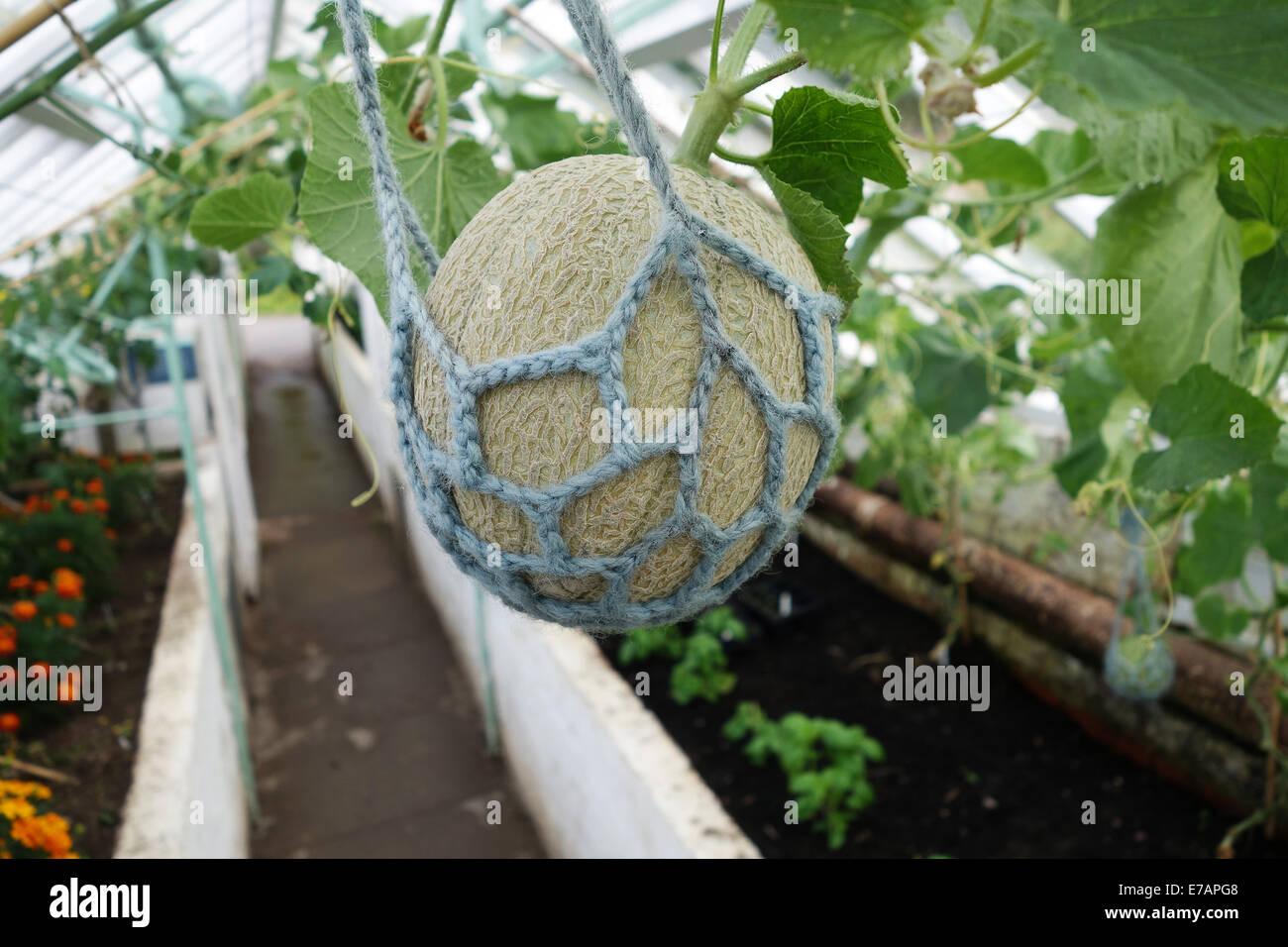 Les melons melon cultivés en serre de plus en plus avec l'aide de filets net Uk Photo Stock