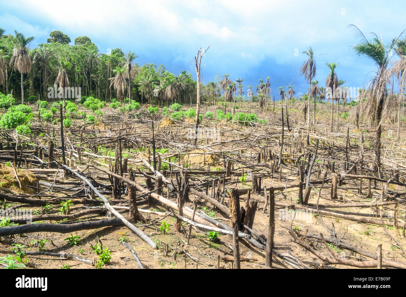 La déforestation en Afrique, l'exploitation forestière de bois massif en Sierra Leone Photo Stock