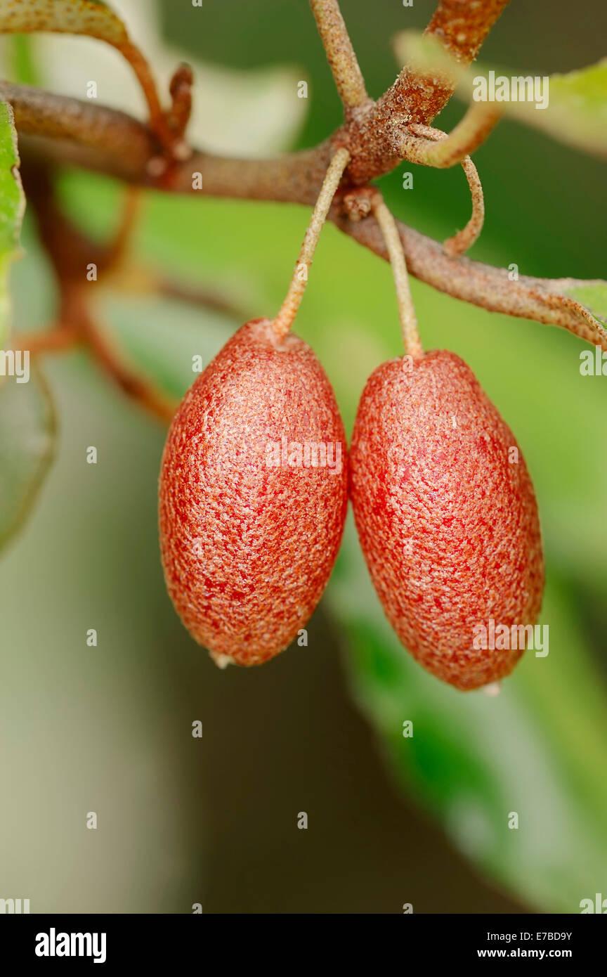 Elaeagnus Elaeagnus pungens (épineux), fruits, natif du Japon et de la Chine Photo Stock