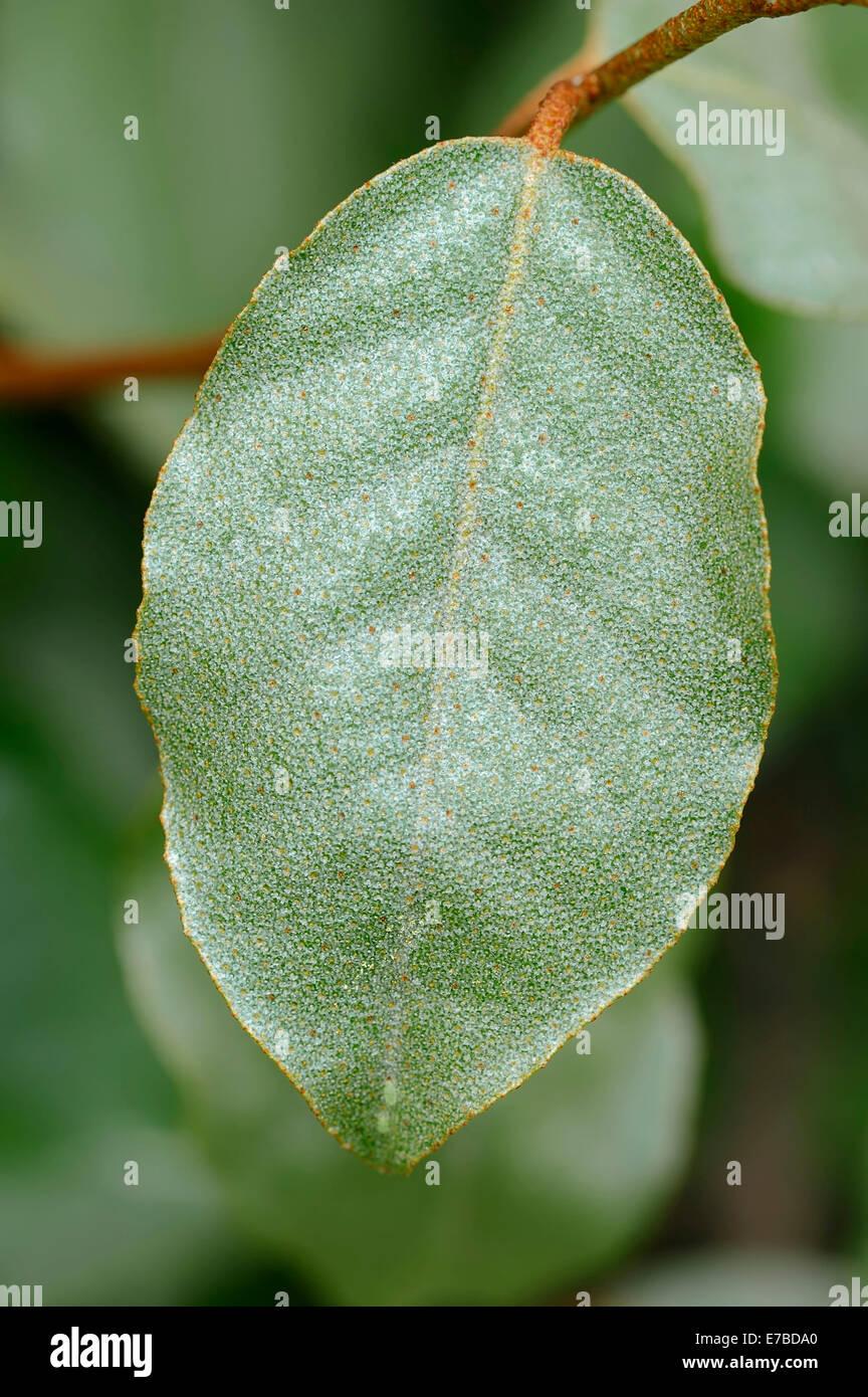 Elaeagnus Elaeagnus pungens (épineux), feuille, natif du Japon et de la Chine Photo Stock