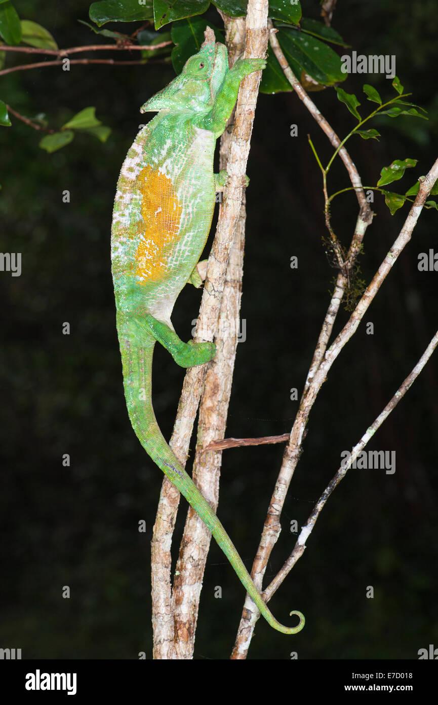 Parson's Calumma parsonii (CAMÉLÉON), Parc national Parc Mantadia- Andasibe, Madagascar Banque D'Images
