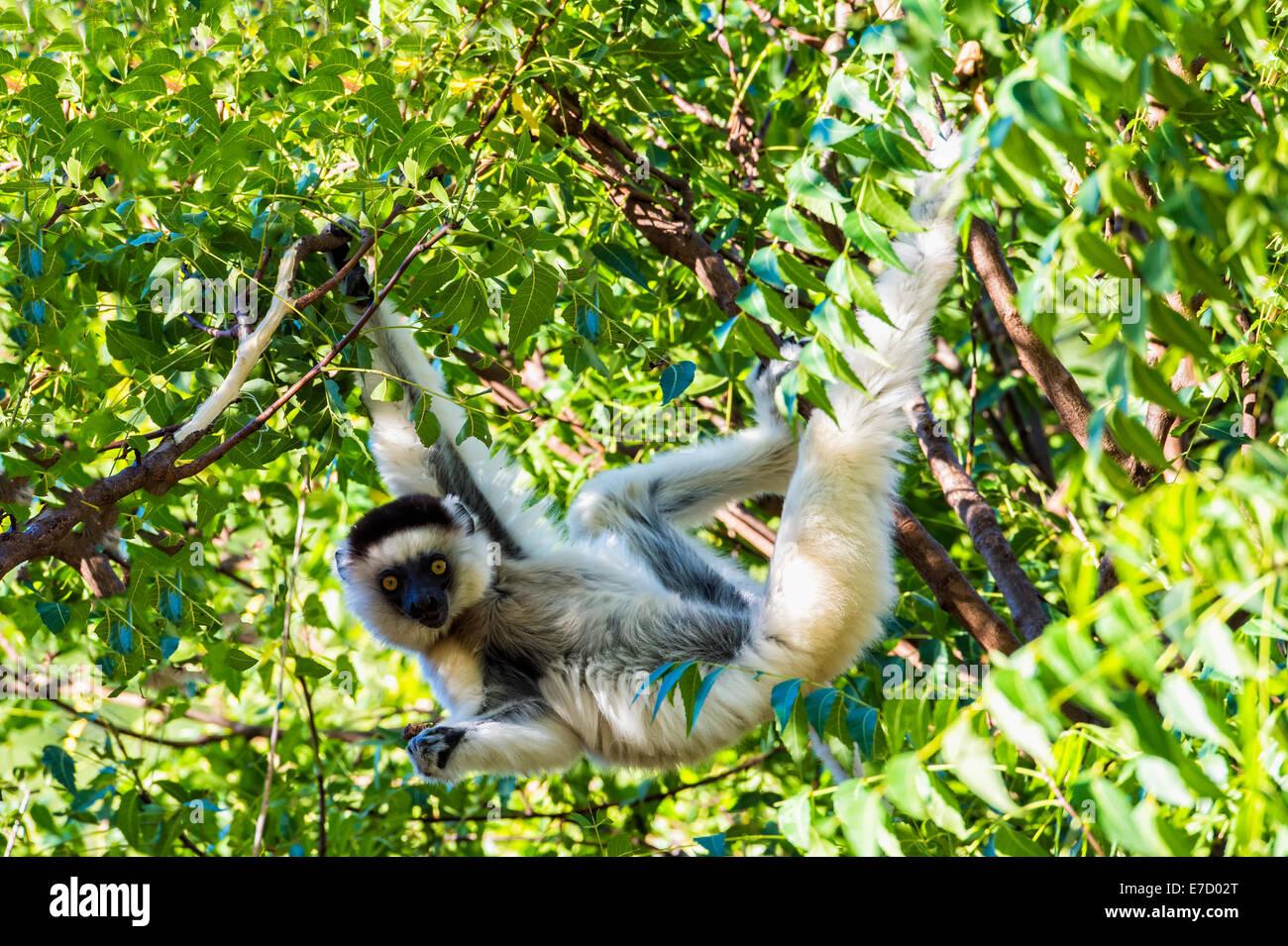 Le propithèque de verreaux (Propithecus verreauxi) sautant d'un arbre, la réserve naturelle de Berenty, Fort Dauphin, Banque D'Images