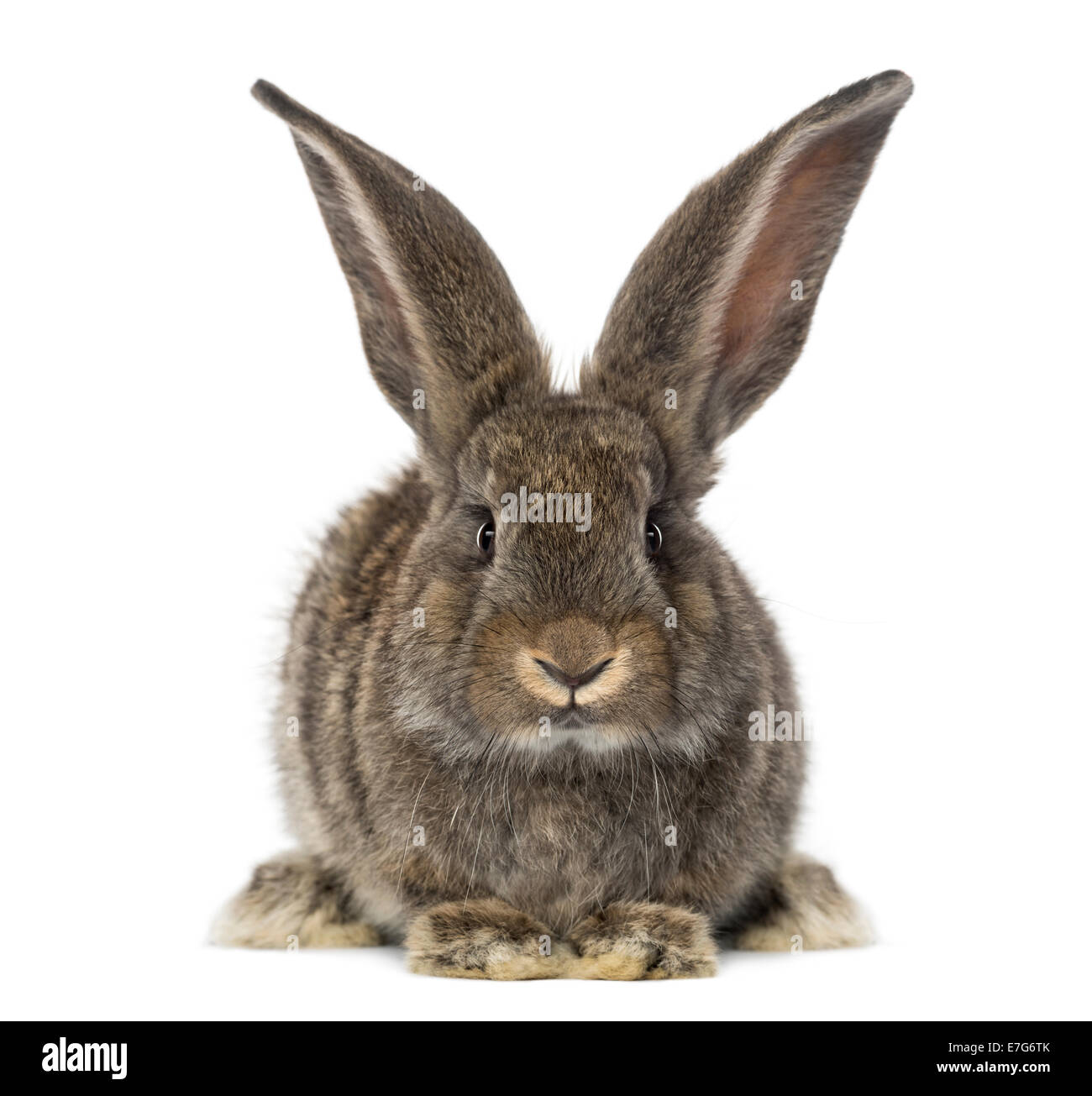 Rabbit in front of white background Photo Stock