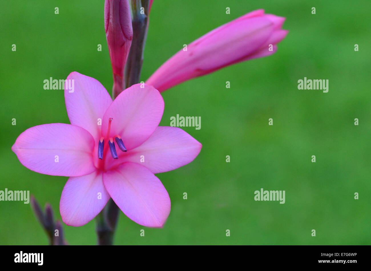 Glaïeul rose fleurs dans le jardin pendant la saison de printemps. Photo Stock