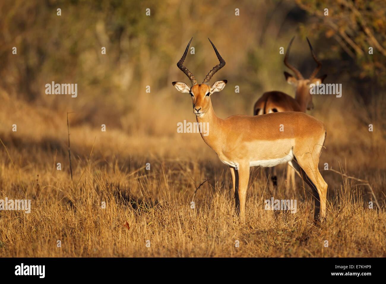 Un mâle antilope Impala (Aepyceros melampus) dans l'habitat naturel, l'Afrique du Sud Photo Stock