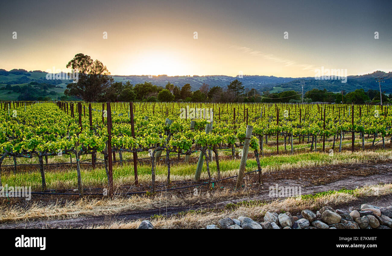 Coucher de soleil sur les vignes dans la région viticole de la Californie. Le Comté de Sonoma, en Californie Banque D'Images