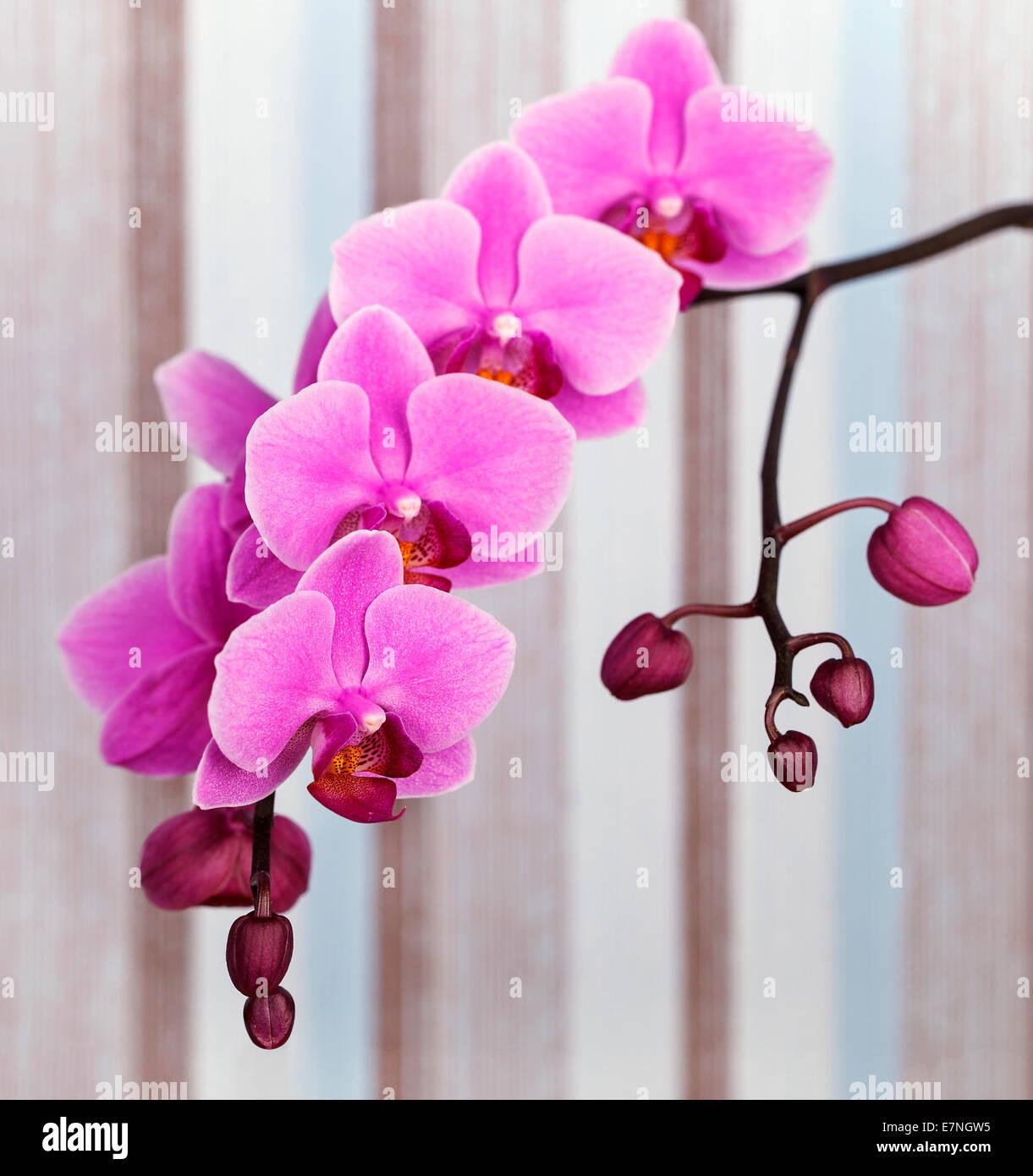 Gros Plan De Fleur Orchidee Rose Sur Un Fond Raye Pastel Banque D