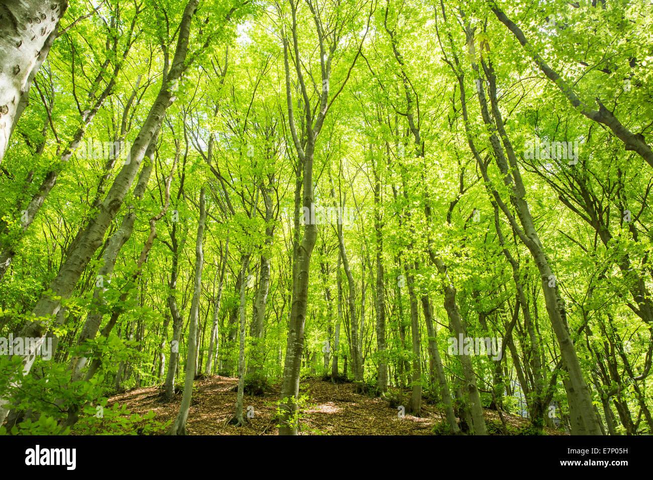 Lugano, bois, forêt, Monte Boglia, canton du Tessin, en Suisse méridionale, bois, forêt, Suisse, Photo Stock