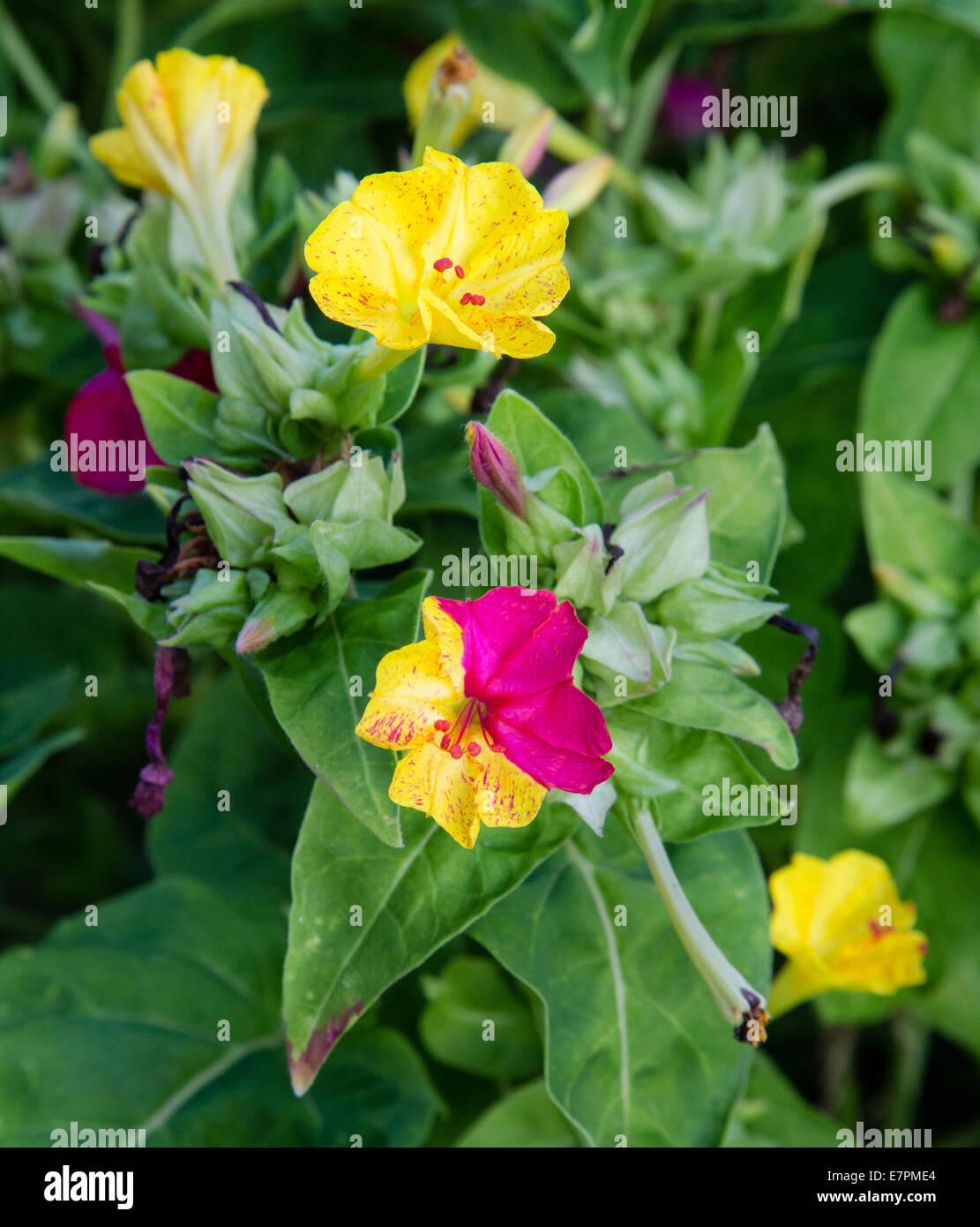Fleurs à deux tons de rouge et jaune sur le même blossom Photo Stock