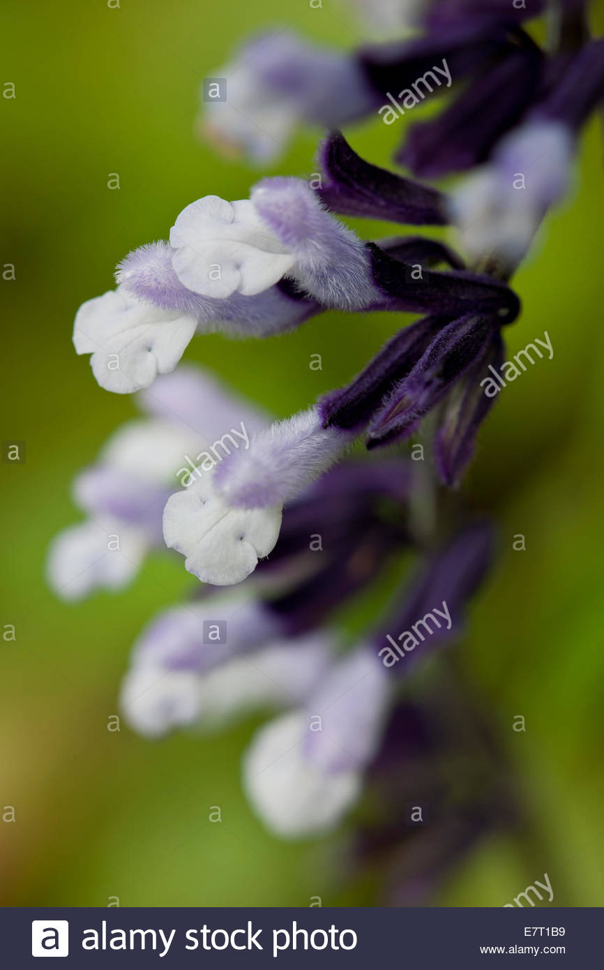 Salvia Sage amitié 'Phyllis Fancy' Photo Stock