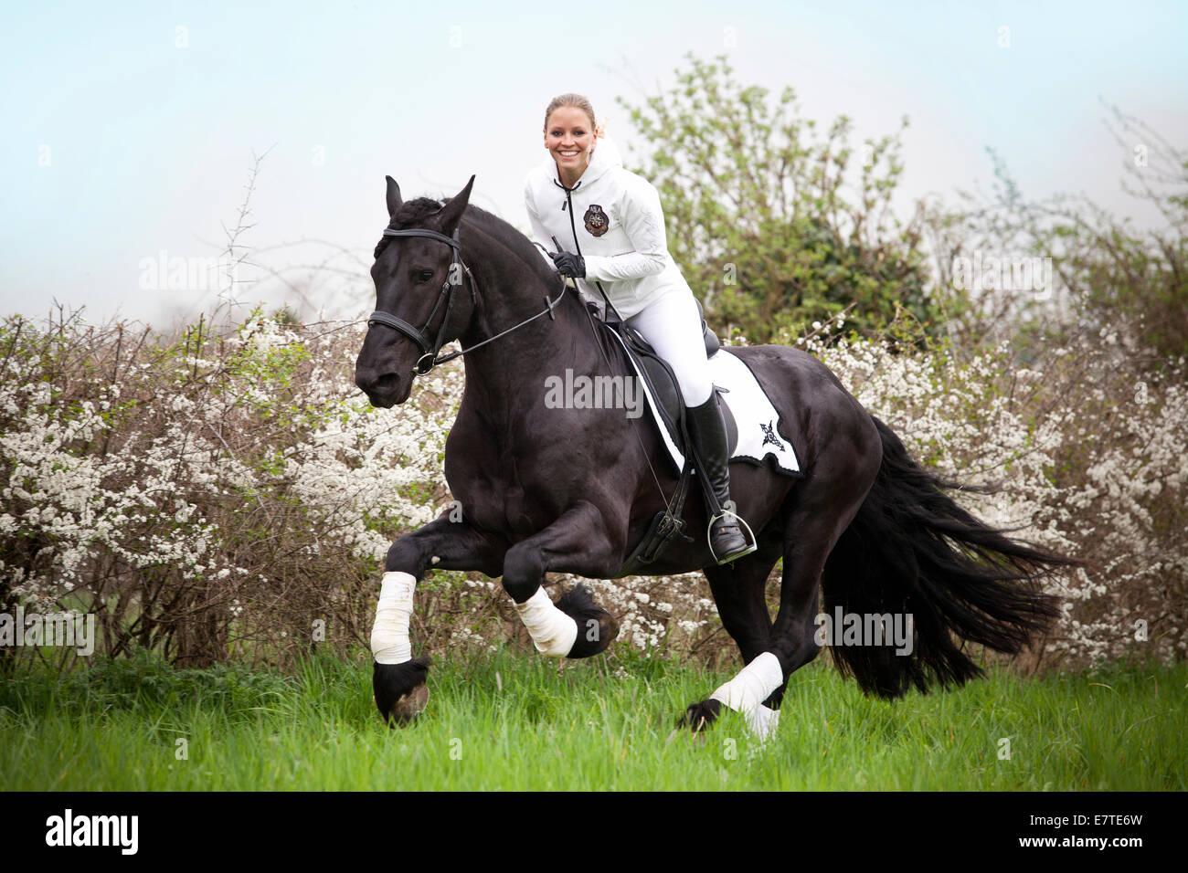 Cheval frison ou frisons, étalon, femme-cavalier au galop Photo Stock