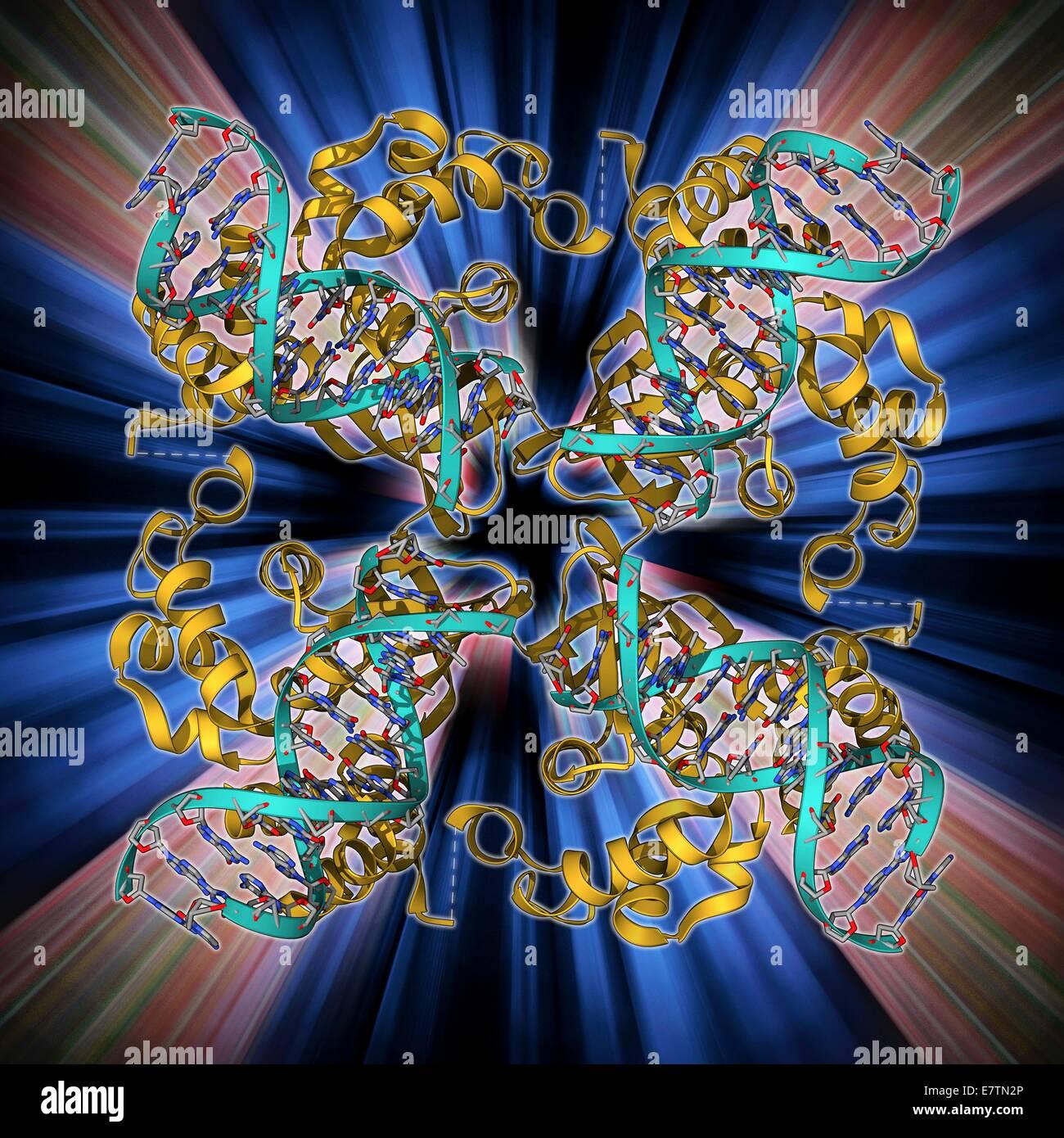E. coli Holliday junction complexes. Le modèle moléculaire d'une protéine RuvA (rouge) en complexe avec un Holliday junction entre brins d'homologue de l'ADN (acide désoxyribonucléique, bleu) à partir d'un E. coli (Escherichia coli) Bactérie. Un Holliday junction formulaires au cours de crossing over, un processus génétique naturelle qui se produit entre les chromosomes homologues et conduit à la commutation de matériel génétique entre les chromosomes. Ceci augmente la recombinaison la variation génétique dans une population. RuvA fait partie de l'RuvABC complexe de trois protéines qui médient la migration de la direction générale et résoudre le Holliday junction Banque D'Images