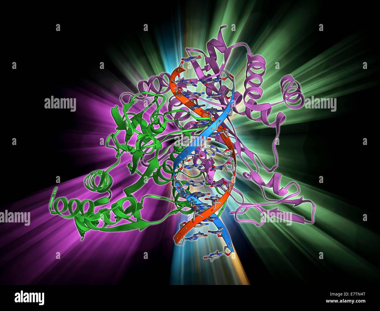 L'enzyme de restriction et de l'ADN. Le modèle moléculaire montrant une endonucléase enzyme Photo Stock