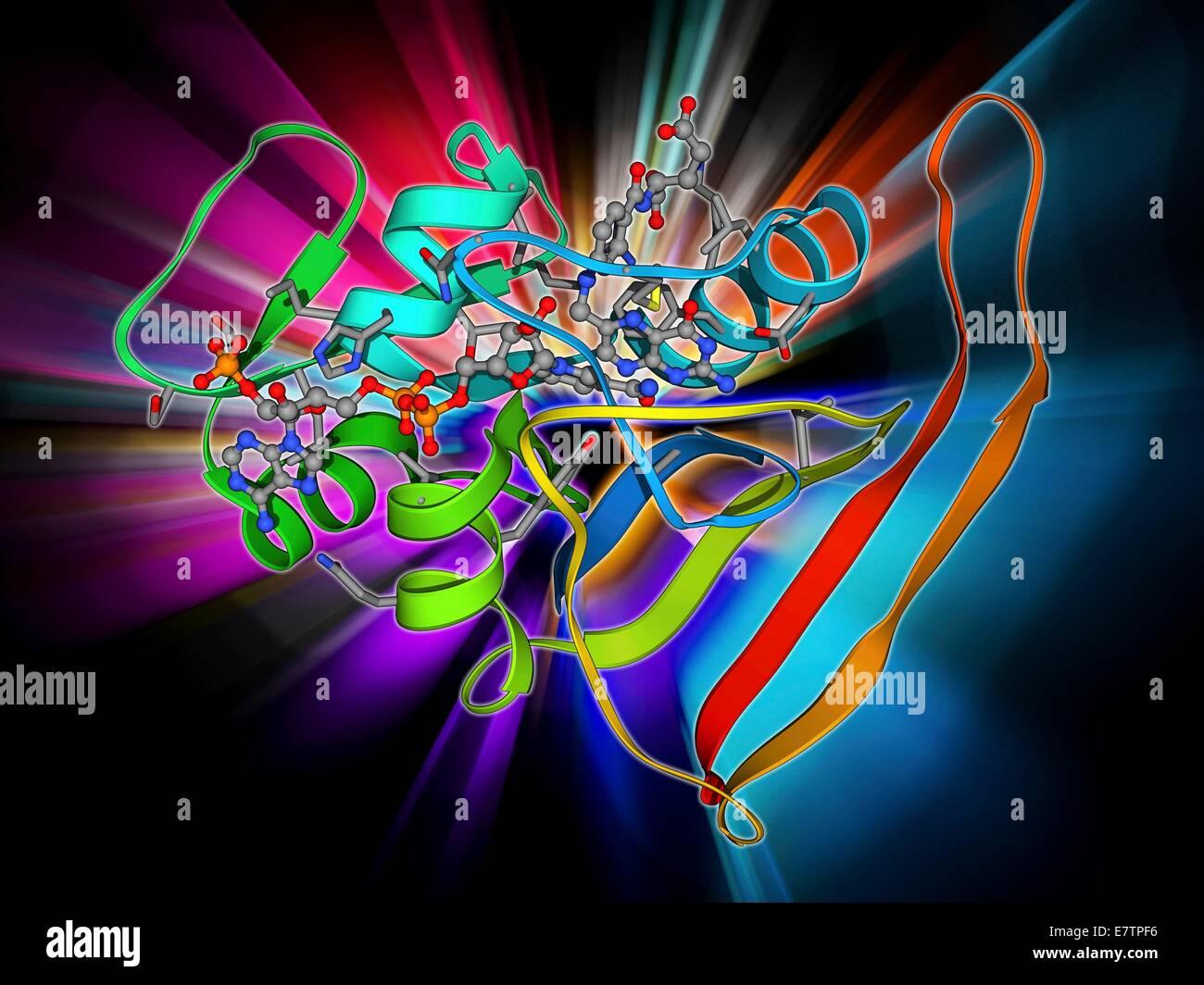 La dihydrofolate réductase, le modèle moléculaire. Cette enzyme convertit l'acide folique vitamine Photo Stock
