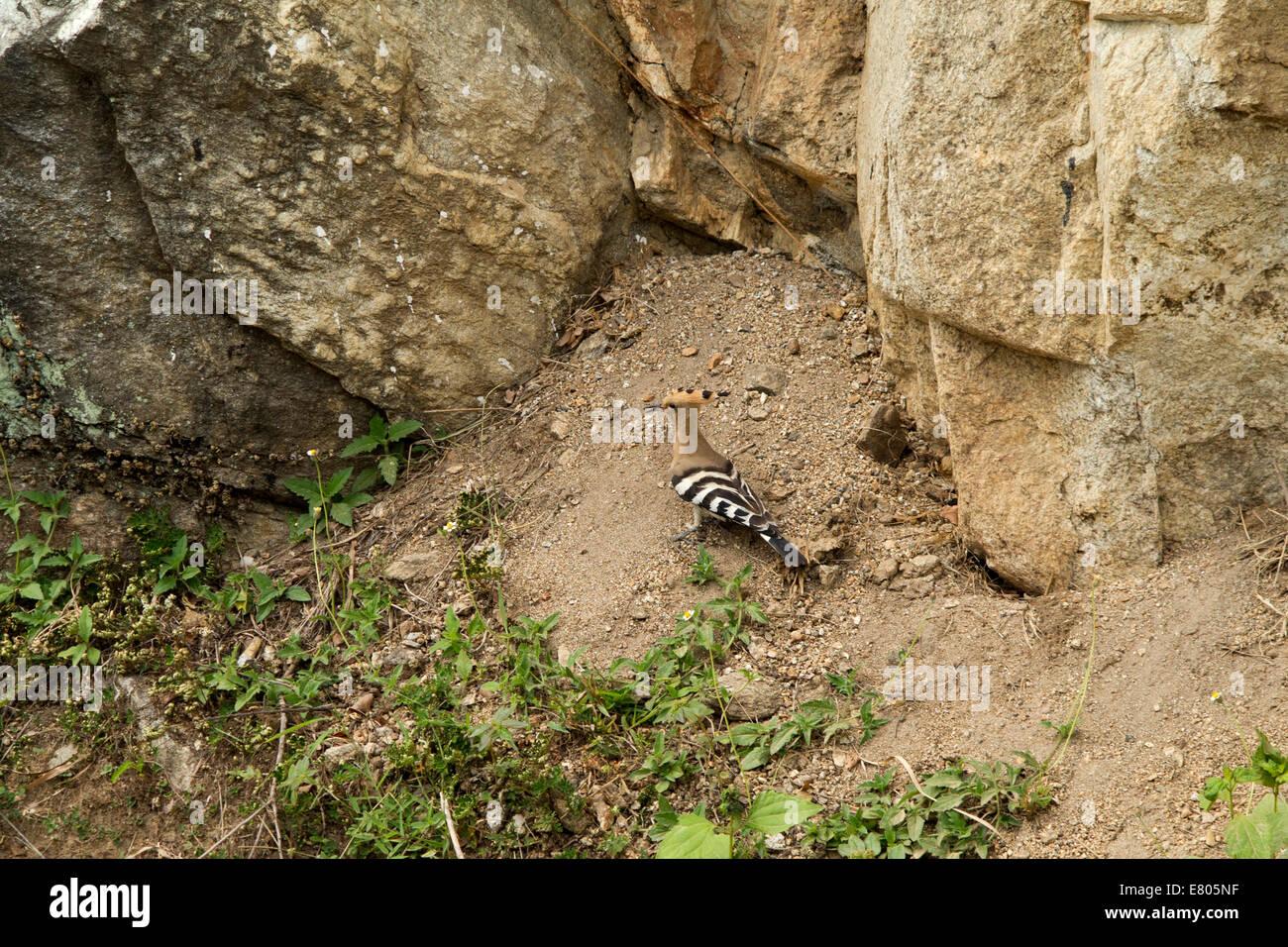 L'est du Bhoutan, Trashi Yangtse, huppe fasciée (Upupa epops) oiseau sur le bas-côté de la route Photo Stock