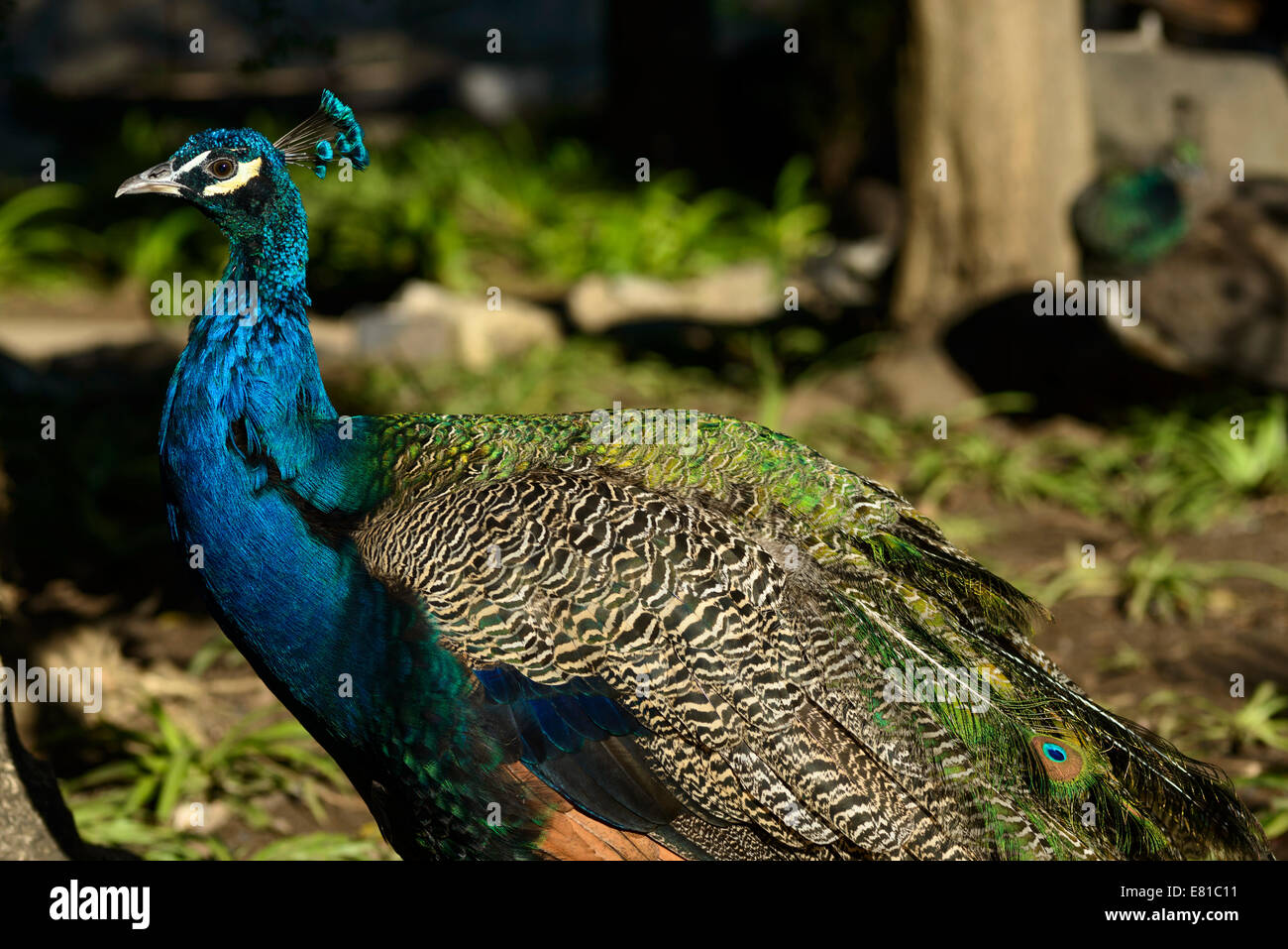 Peacock debout Banque D'Images