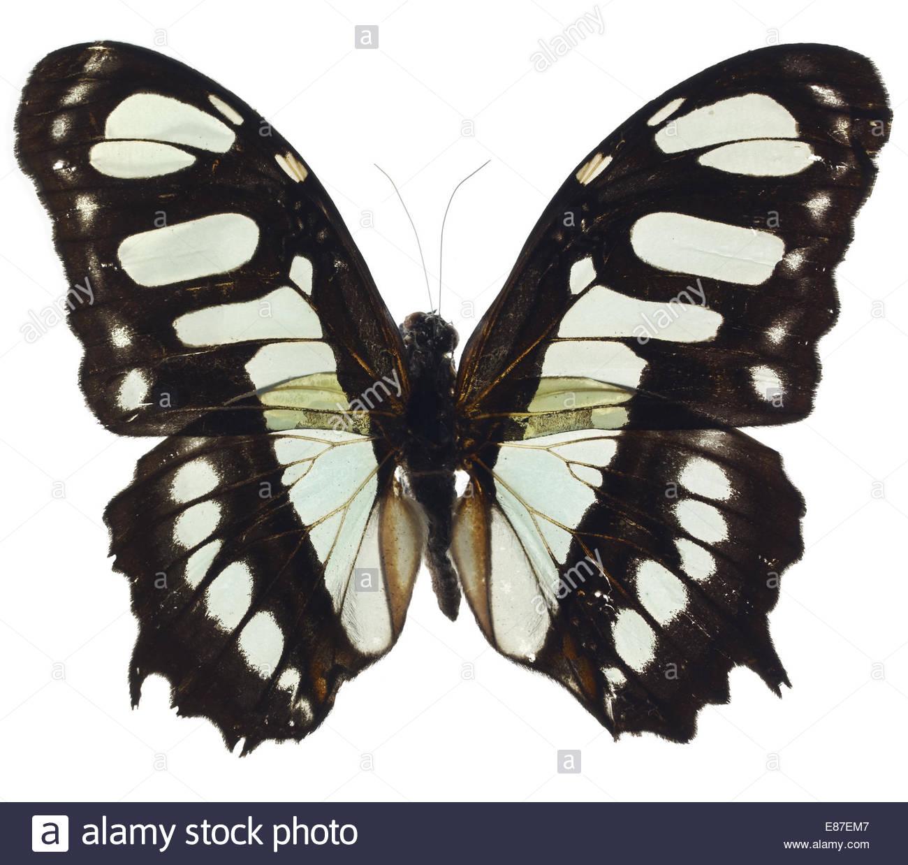 Papillon aux ailes ouvertes sur fond blanc Photo Stock