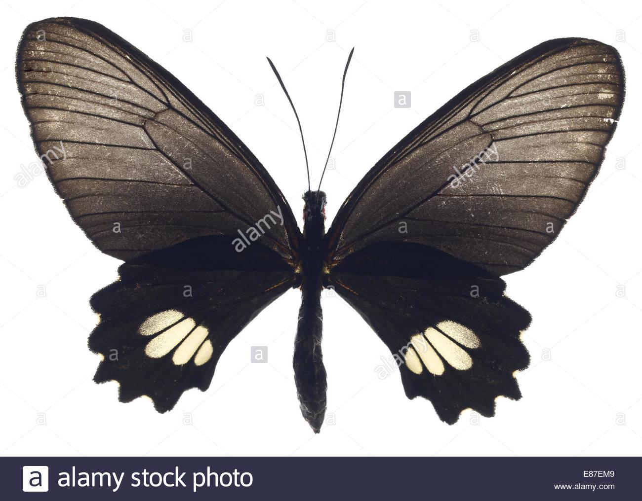 Papillon noir avec des ailes ouvertes sur fond blanc Photo Stock
