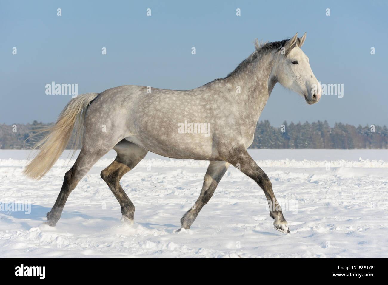 Cheval français (Selle Français) dans le champ d'hiver Photo Stock