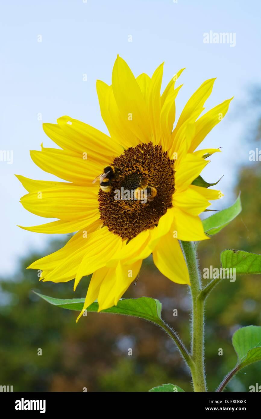 Deux abeilles humble sur un tournesol Photo Stock
