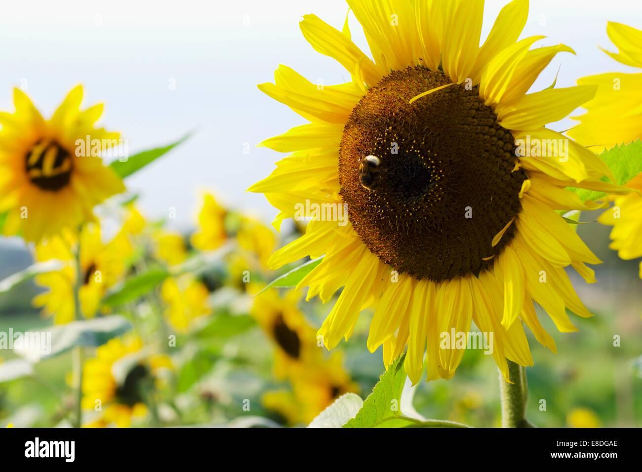 Humble abeille sur un tournesol Photo Stock