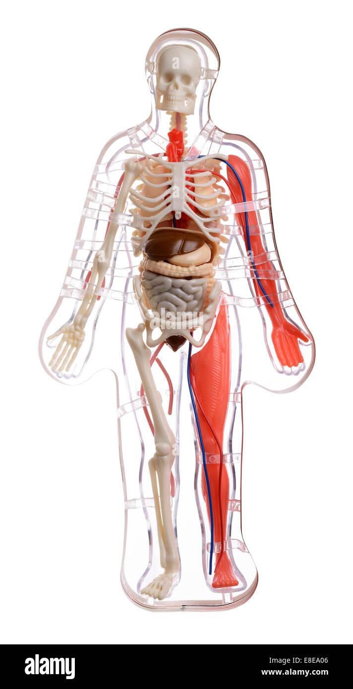 Schéma en coupe 3d du corps humain Banque D'Images