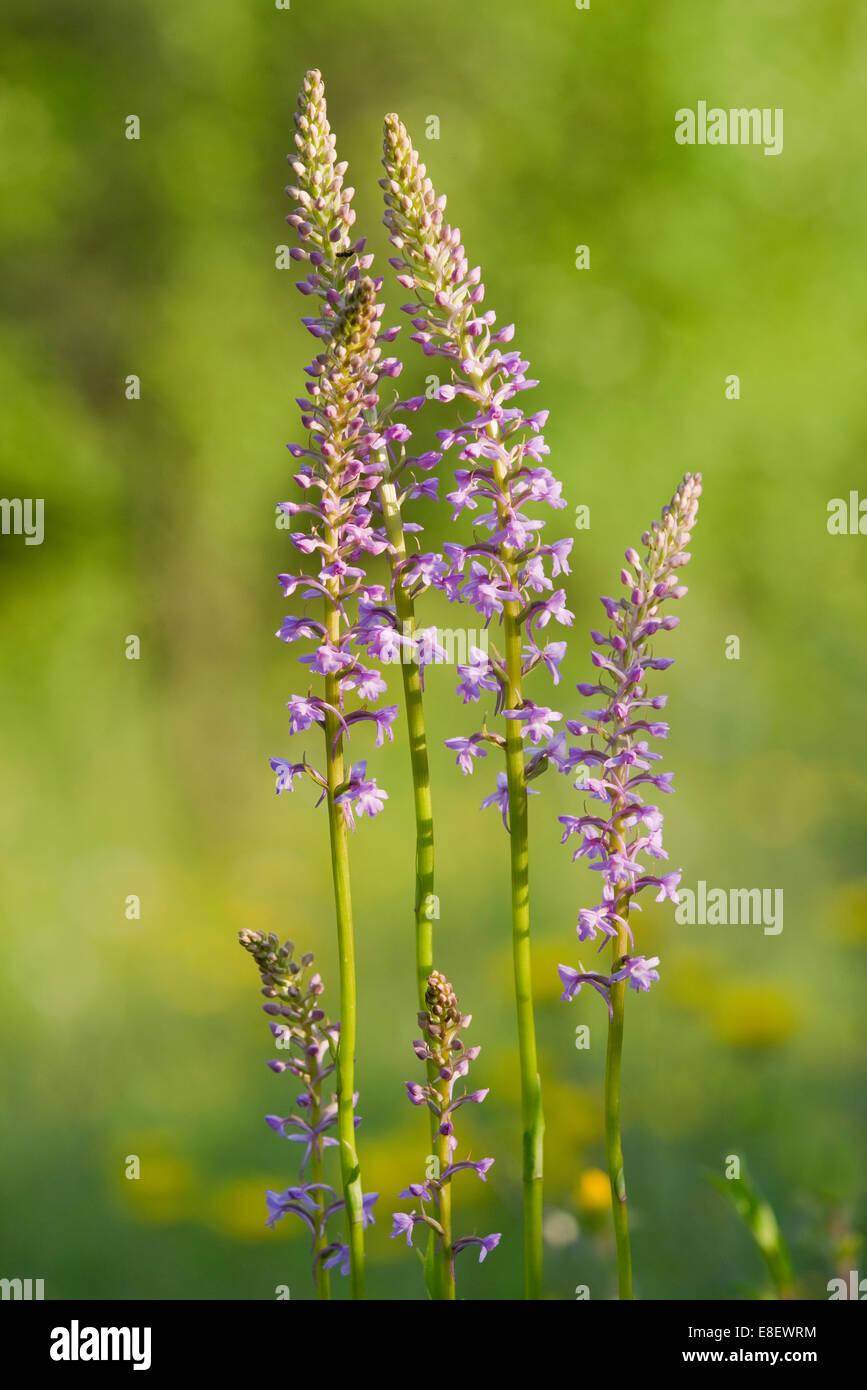 Orchidée parfumée (Gymnadenia conopsea), la floraison, Leutra, Thuringe, Allemagne Banque D'Images