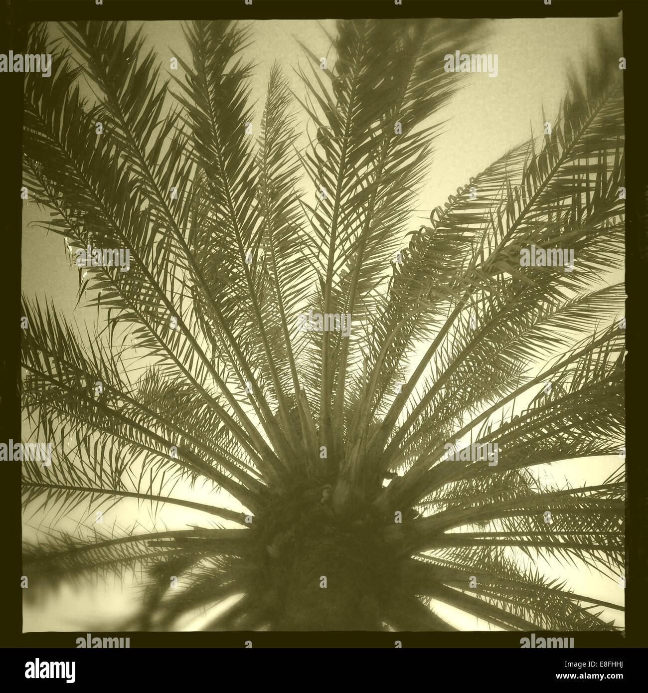 Oman, Muscat, palmier à partir de ci-dessous Photo Stock