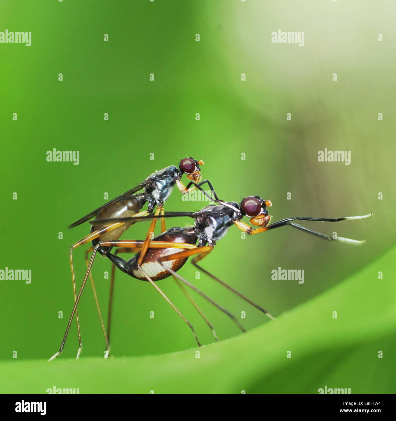 Accouplement des insectes Photo Stock