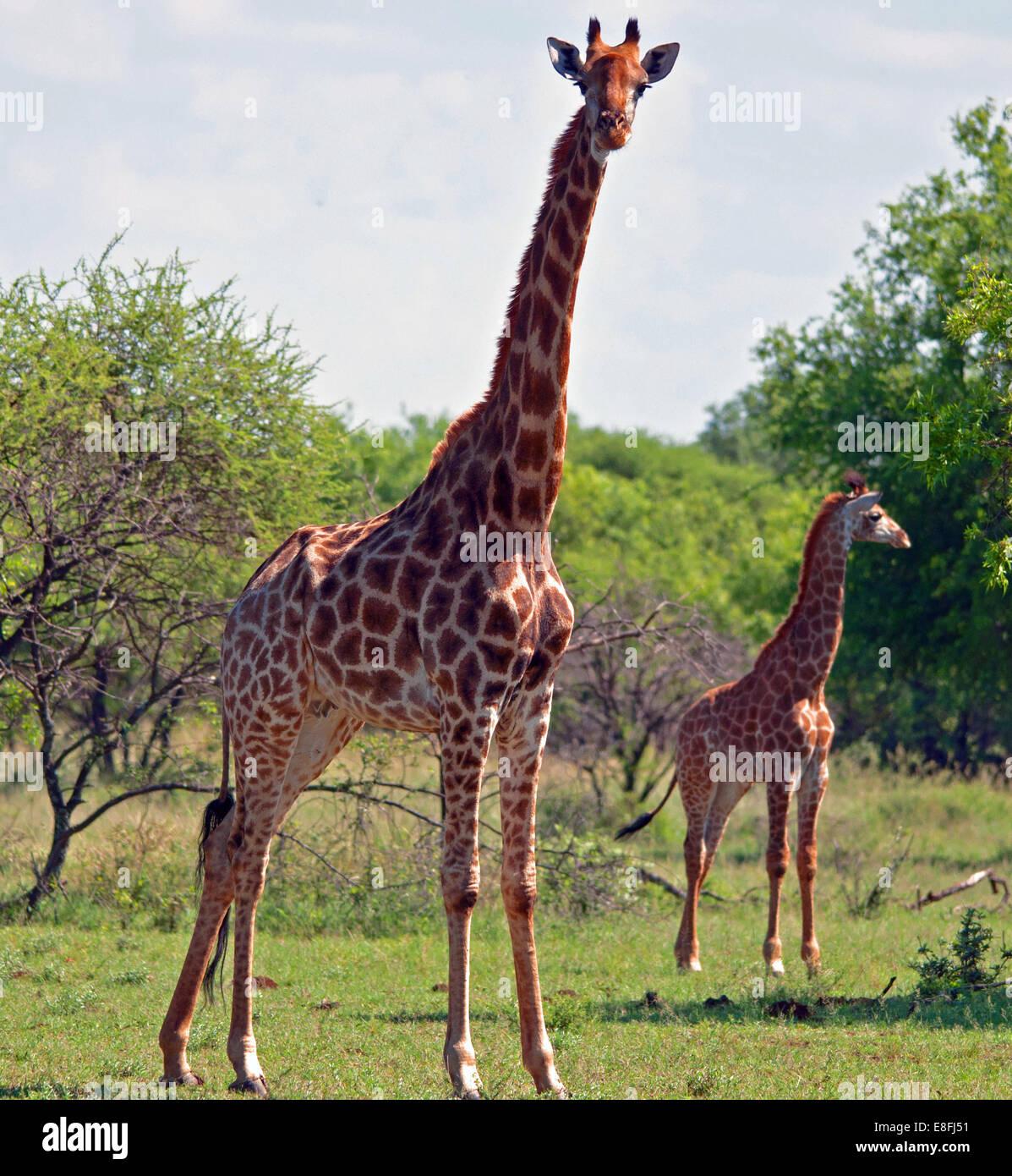 Girafe vache avec son veau, Afrique du Sud Photo Stock